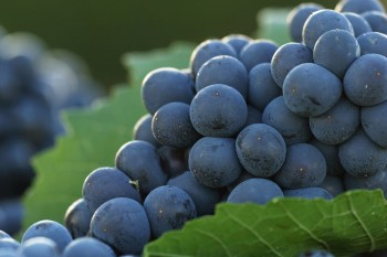 Proyecto CONICYT desarrolla tratamiento contra la hipertensión a partir de la uva País