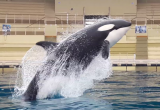 Investigación financiada por CONICYT evidencia la capacidad de las orcas de imitar la voz humana