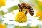 Investigadores Fondecyt descubren pesticidas y parásitos en miel de abejas