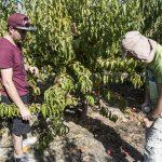 Centro Regional de CONICYT crea frutas resistentes al cambio climático