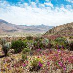 El siete por ciento de las especies de plantas del Desierto de Atacama son no nativas
