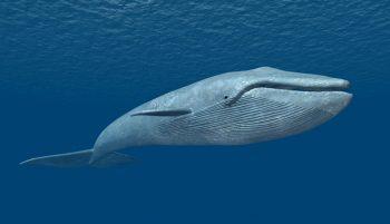 La lucha por descontaminar a las ballenas azules